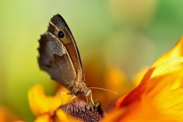 Bild mit Tiere, Insekten, Schmetterlinge, Tier, Makro, Schmetterling, Makroaufnahmen, Nektar, Falter, Insekt