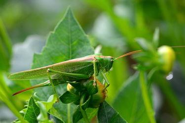 Bild mit Augen,Grün,Blumen,Insekten,Dahlien,Kopf,Tettigonia viridissima,Grünes Heupferd