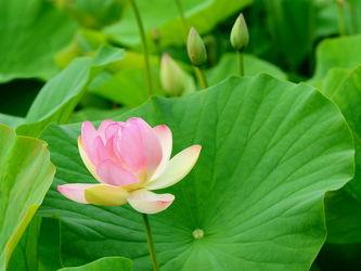 Bild mit Blumen, Blumen, Blätter, Reinheit, Schönheit, Seerose, Seerose, Wasserrose, Wasserrose, Lotosblüte, Lotos, Selbstreinigung