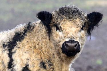 Bild mit Säugetiere, Jahreszeiten, Winter, Frühling, Herbst, Kühe, Sommer, Fell, Kuh, Freitiere, Fleischkühe, Jahreskühe