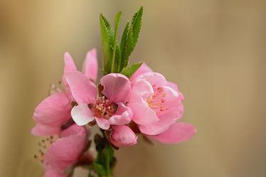 Bild mit Grün, Rosa, Frühling, Frühling, Sonne, Blätter, Licht, garten, Wärme, terrasse, Nektarinenblüte, Windgeschützte_Lage, Balkon