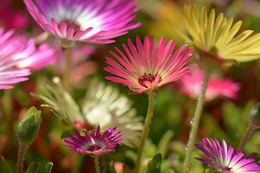 Bild mit Blumen, Blumen, Sonne, Sonnenschein, Tapete, Hintergründe, garten, farbig, Bauerngärten, Mittagsblumen, Leinwände