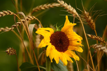 Bild mit Herbst, Herbst, Sonnenblume, Herbststimmung, Korn, Ãhren, Herbstidylle