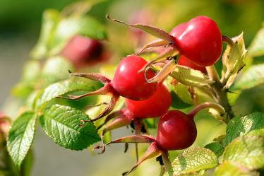 Bild mit Grün, Früchte, Rot, Herbst, Beeren, Vitamine, Saft, Hagebutten, Heckenrose, Marmeladen