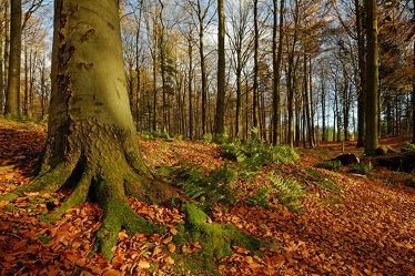 Bild mit Bäume, Herbst, Herbst, Sonne, Blätter, Licht, Bunt, farbig, Wandern, Wanderwege, Schleswig_Holstein, Laub, Naturpark, Farne, Herbstidylle, Hüttener_Berge
