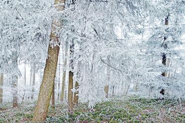 Bild mit Winter, Wälder, Mischwald, Winterzeit, Schleswig_Holstein, Raureif, Naturpark_Westensee, Westensee, Nortorfer_Land, Nortorf, Winterwälder, Nadelwälder, Winterwald