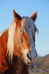 Bild mit Säugetiere, Pferde, Kinderbild, Kinderbilder, Kinderzimmer, Pferd, Portrait, Abendsonne, reiten, Mähne, Porträt, Pferdekopf, Freund, Pferdeliebe, pferdebilder, pferdebild