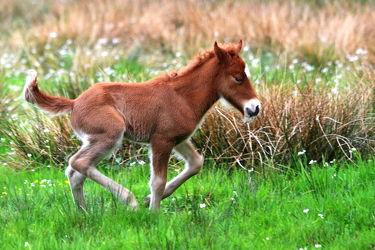 Bild mit Tiere, Säugetiere, Pferde, Pferde, Tier, Kinderbild, Kinderbilder, Kinderzimmer, Säugetier, Pferd, Pferd, Weide, reiten, Fohlen, Jungtier, Gehversuche, Laufen, Sprinten, Pferdeliebe, pferdebilder, pferdebild