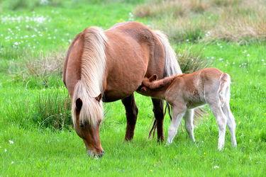 Bild mit Säugetiere, Sport, Trinken, Pferde, Nahrung, Kinderzimmer, Pferd, Kind, Freundschaft, Weide, reiten, landwirtschaft, Fohlen, Mutter, Tierliebe, Haustier, Säugen