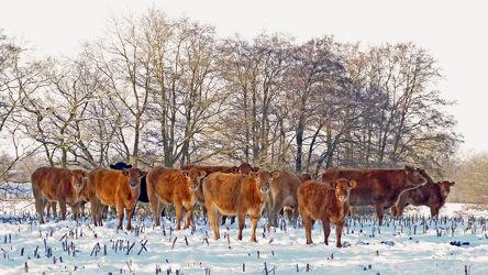 Wintertaugliche Rinder