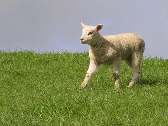 Bild mit Säugetiere, Grün, Himmel, Nebel, Dunst, Deiche, Seedeich, Osterschäflein, Osterschaf, Schäflein, Deichbeweidung