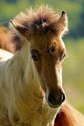 Bild mit Säugetiere, Pferde, Kinderbild, Kinderbilder, Kinderzimmer, Pferd, Herde, reiten, Porträt, Pferdekopf, Koppel, Pferdeliebe, pferdebilder, pferdebild