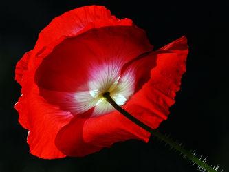 Bild mit Grün,Blumen,Weiß,Rot,Mohn,Sonne,Mohnblüte,Licht,Froschperspektive,Stengel