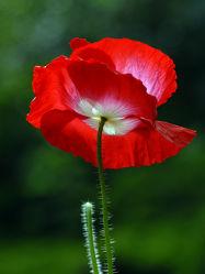 Bild mit Grün,Blumen,Weiß,Rot,Mohn,Mohnblume,Dunkler_Hintergrund,Mohnblumenstengel,Rotweiß