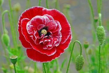 Bild mit Grün, Blumen, Parks, Schönheit, Blüten, garten, Idylle, Stengel, Gefüllte_Mohn, Rot_weiß, Blütenknospen, Blütenstengel, Zierde