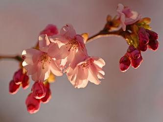 Bild mit Rosa, Frühling, Frühling, Blüten, Zweige, Zierkirschenblütenzweig, Zierkirsche, Weißrosa