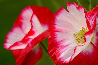 Bild mit Blumen, Parks, Mohn, Makro, Schönheit, garten, nahaufnahme, Idylle, Duett, Rotweiß, Bauerrngärten