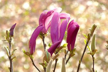 Bild mit Rosa, Frühling, Rot, Blüten, edel, Äste, Magnolie, Zweige, Blütenknospen, Knospen, Tulpenbaum, Magnolienbaum, Magnolienstrauch