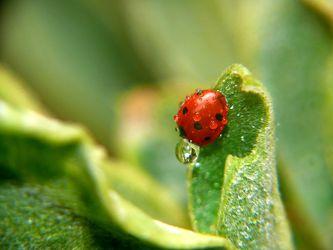 Bild mit Insekten, Regentropfen, Marienkäfer, garten, Regen, Wind, sturm, Glücksbringer, Glück, Ruheort, Zufluchtsort, Bodendecker, Beet, Symbol