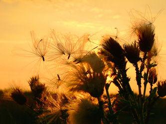Bild mit Himmel,Blumen,Sonnenuntergang,Disteln,Sonnenaufgang,Sonne,Blume,Ruhe,Distel,Abend,Abendsonne,Stranddistel,Samen,Flugsamen