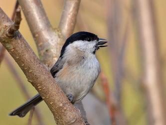Bild mit Wälder,Parks,Vögel,Braun,Äste,Unterholz,Zweige,Standvogel,Weidenmeise,Parus_montanus,Gehölz