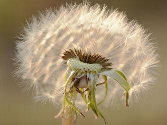 Bild mit Blumen, Makro, Löwenzahn, Pusteblume, Abendlicht, Vermehrung, Samenträger, Leicht, Leichtigkeit, Zartheit