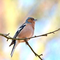 Bild mit Wälder,Parks,Vögel,garten,Buchfink,Finken,Fringilla_coelebs,Feldgehölze