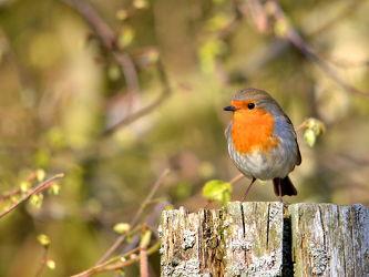 Bild mit Vögel,Sonne,Licht,frühjahr,Rotkehlchen,Erithacus_rubecula