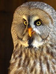 Bild mit Vögel,Uhu,Blick,Nacht,Porträt,Kleingetier,Nachtvogel,Nachtjäger