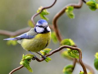 Bild mit Vögel,Sonne,Licht,Ruhe,Strauch,Futter,Fressen,Schutz,Meise,Mahl,Blaumeise,Parus_caeruleus