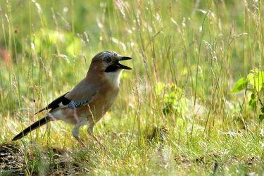 Bild mit Wälder,Vögel,Rabenvögel,Eichelhäher,Garrulus_glandarius