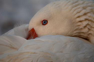 Bild mit Augen,Winter,Weiß,Vögel,Gänse,Sonne,Nahrung,Licht,nahaufnahme,Gefieder,Gans,Abendsonne,Kopf,Winterruhe,Haushalten,Energiebedarf