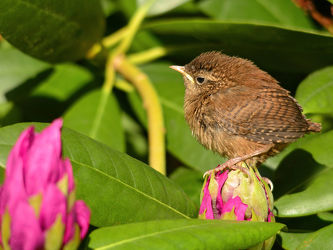 Bild mit Vögel, Kinder, blüte, Jungvögel, Zaunkönig, Troglodytes_troglodytes, Gartenvögel, Rhododendronblüte, Schlupftag, Tageskind, Tagesvogel, Singvögel