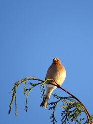Bild mit Vögel,Sperlingsgroß,Buchfink,Fringilla_coelebs