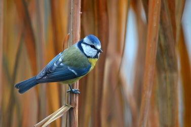 Bild mit Blau,Vögel,Braun,Schilf,Hintergrund,Gras,Gestreift,Blaumeise,Singvögel,Meisen,Binsengras,Cyanistes_caeruleus