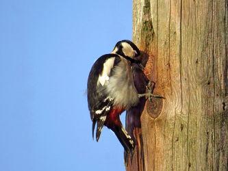 Bild mit Vögel,Buntspecht,Dendrocopus_major,Spechte