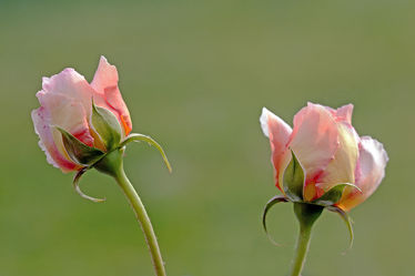 Bild mit Grün, Blumen, Rosa, Rosen, Sommer, Tapete, frühjahr, zwei, edel, Paar, Dezent, Duett, Knospen, Zwilling, Galant