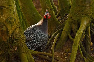 Bild mit Bäume,Vögel,Männchen,Abendlicht,Wurzeln,Sehnsucht,Perlhuhn,Perlhühner,Baumwurzeln,Warten,Erwartung
