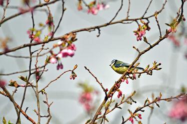 Bild mit Bäume,Parks,Frühling,Frühling,Vögel,Sonne,Licht,Blüten,garten,Sonnenstrahlen,Wärme,Abendsonne,Zierkirsche,Blaumeise,Parus_caeruleus