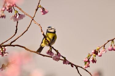 Bild mit Bäume,Parks,Frühling,Vögel,Vögel,Sonne,Licht,Blüten,garten,Sonnenstrahlen,Wärme,Abendsonne,Zierkirsche,Blaumeise,Parus_caeruleus
