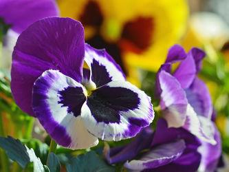 Bild mit Gelb, Blumen, Frühling, Frühling, Rot, garten, garten, Stiefmütterchen, Kästen, Balkonblumen, Kastenblumen