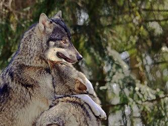 Bild mit Säugetiere, Wolf, Wölfe, Liebkosungen, Wölfin
