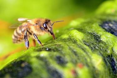 Bild mit Wasser, Insekten, Insekten, Bienen, Trinken, Moos, Versorgung, Wasserholerin, Wasserstelle