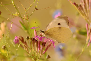 Bild mit Blumen, Insekten, Schmetterlinge, Tagfalter, Bauerngärten, Beete, Großer_Kohlweißling, Pieris_brassicae, Blumengarten