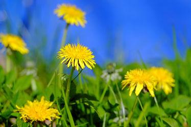 Bild mit Gelb,Grün,Pflanzen,Gräser,Flüsse,Blumen,Blumen,Blau,Löwenzahn,Felder,Pusteblumen,Wiesen,Bäche,Feldränder,Seeufer
