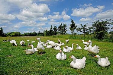 Bild mit Himmel,Wolken,Vögel,Vögel,Gänse,Felder,Wiesen,Landgeschnatter,Tierhaltung,Freilauf,Ökohaltung,Landluft