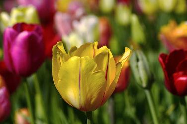 Bild mit Gelb, Grün, Blumen, Rot, Tulpen, Bunt, FARBE