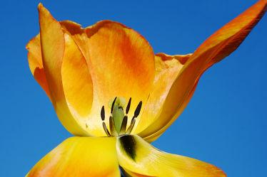 Bild mit Gelb, Blau, Makro, Tulpen, Extras, nahaufnahme, Kern, Kontraste