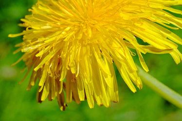 Bild mit Gelb,Grün,Löwenzahn,Pusteblume,Makros,blüte