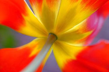 Bild mit Gelb, Frühling, Rot, Blätter, Tulpen, Extras